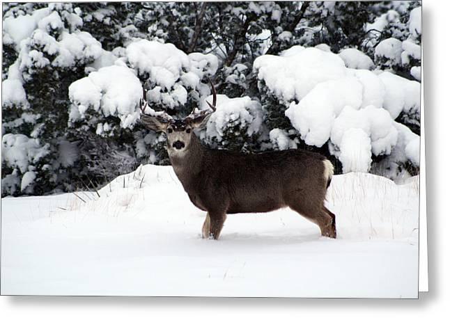 Mule Deer Buck Photograph Greeting Cards - Olsen Greeting Card by Lisa Allen