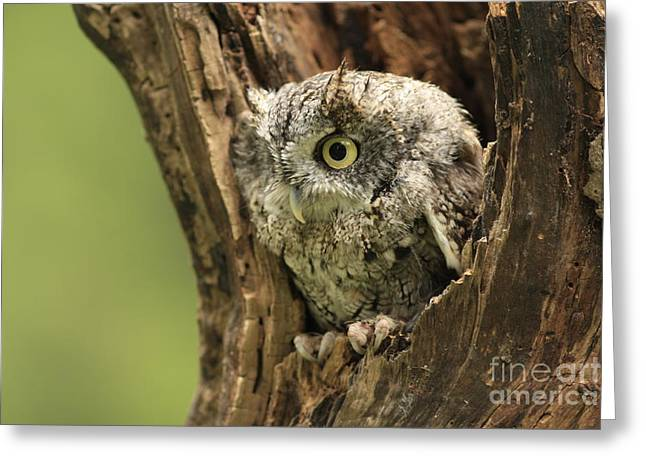 Shelley Myke Greeting Cards - On ALert Eastern Screech Owl in Tree Cavity Greeting Card by Inspired Nature Photography By Shelley Myke