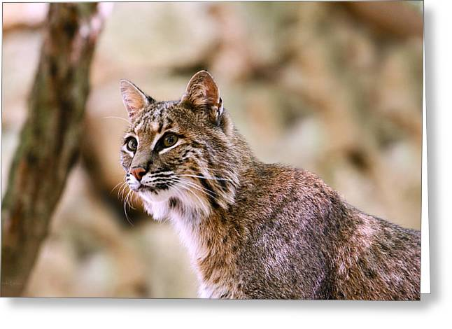 Bobcat Greeting Cards - On Alert Greeting Card by Shelle Ettelson