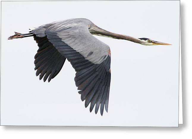 Gray Bird Greeting Cards - On Final Approach Greeting Card by Angie Vogel