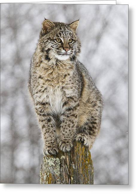 Best Sellers -  - Bobcats Photographs Greeting Cards - On the Fence Greeting Card by Anita Oakley