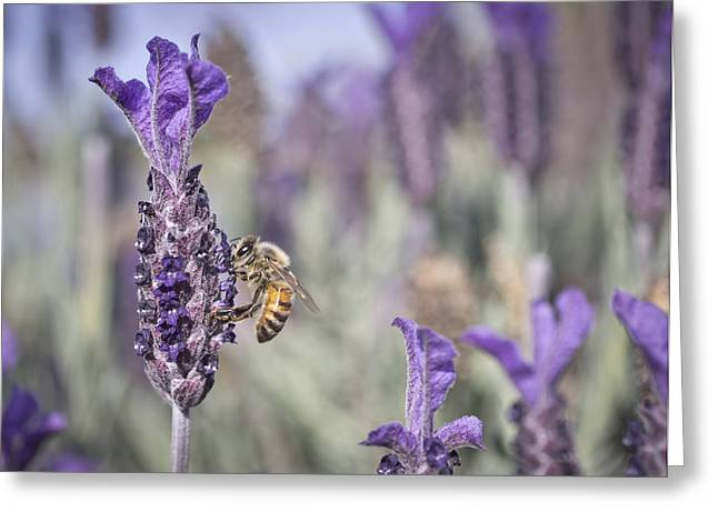 Ghose Greeting Cards - On The Lavender  Greeting Card by Priya Ghose