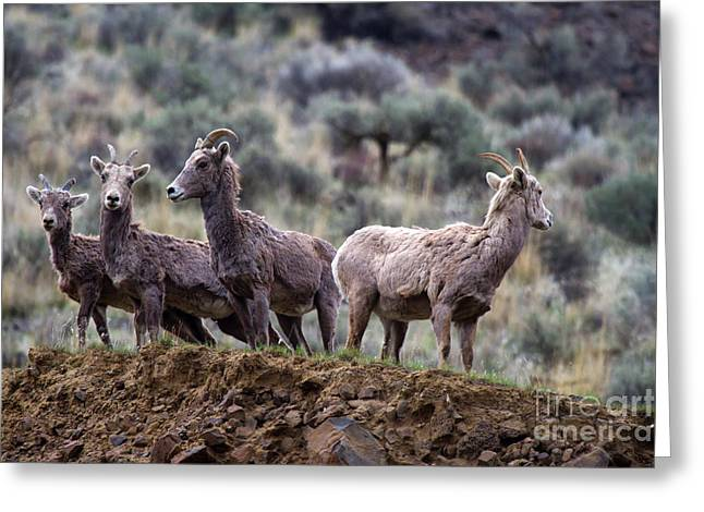 Bighorn Greeting Cards - On the Ledge Greeting Card by Mike  Dawson