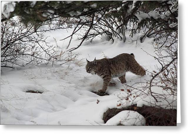 Bobcat Greeting Cards - On The Prowl Greeting Card by Dana Bechler