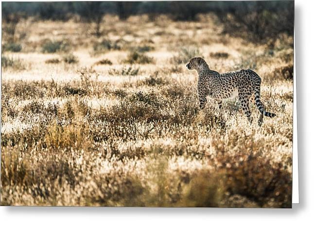 Fast Greeting Cards - On the Prowl - Cheetah Photograph by Duane Miller Greeting Card by Duane Miller