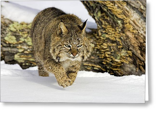 Bobcats Greeting Cards - On the Prowl Greeting Card by Jack Milchanowski