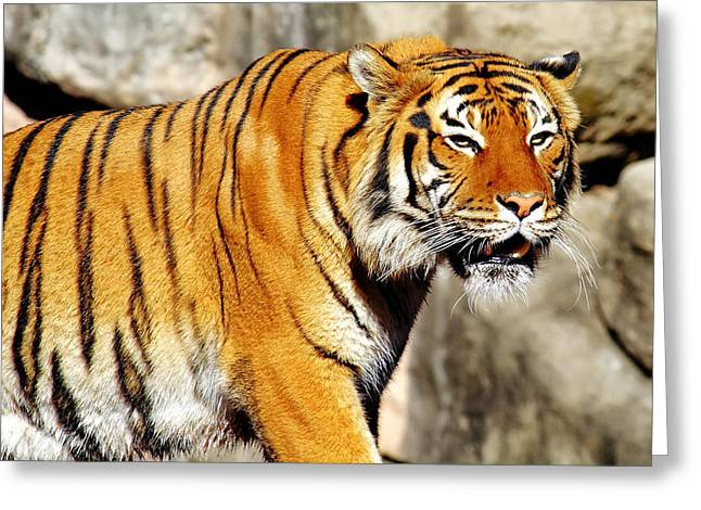 The Tiger Greeting Cards - On the Prowl Greeting Card by Jason Politte