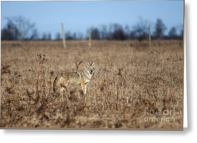 Brush Wolf Greeting Cards - On the Prowl.. Greeting Card by Nina Stavlund