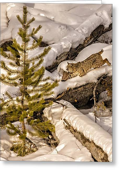 Bobcats Greeting Cards - On the Prowl Greeting Card by Priscilla Burgers