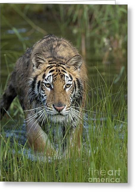Asian Wildlife Greeting Cards - On The Prowl Greeting Card by Sandra Bronstein