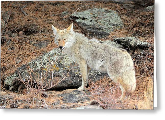 Rocky Mountain National Park Prints Greeting Cards - On The Prowl Greeting Card by Shane Bechler