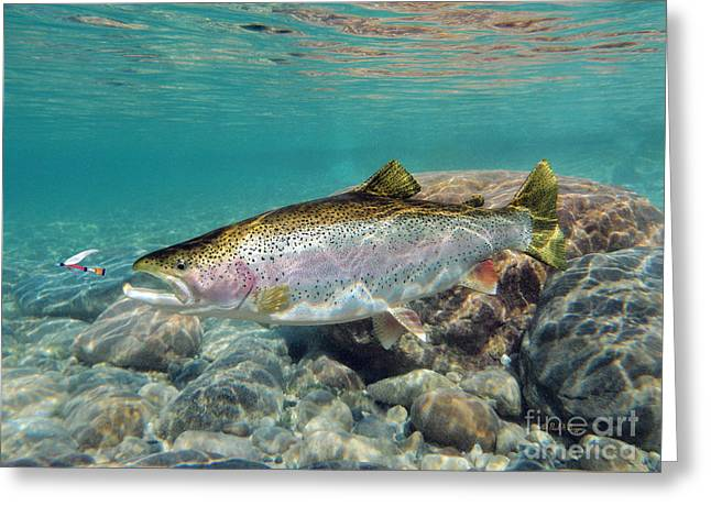Rainbow Trout Digital Art Greeting Cards - On the Rocks Greeting Card by Paul Buggia