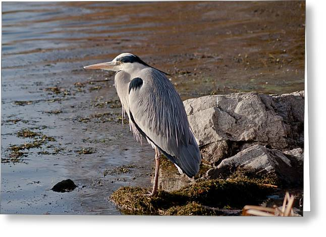 Grey Heron Greeting Cards - On the rocks Greeting Card by Scott Carruthers