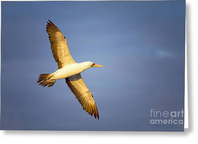 Nazca Greeting Cards - On the wing Greeting Card by Todd Bielby