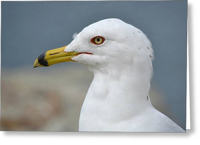 Ring-billed Gull Greeting Cards - Once Upon A Gull Greeting Card by Fraida Gutovich