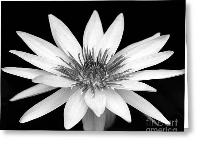 Water Garden Greeting Cards - One Black and White Water Lily Greeting Card by Sabrina L Ryan