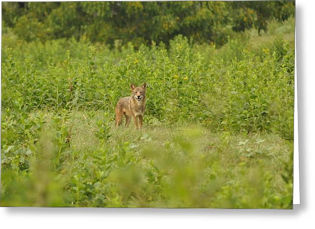 Brush Wolf Greeting Cards - One Coyote Happy  Greeting Card by Living Waters Photography