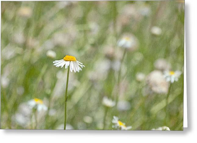 Mother Gift Greeting Cards - One - Daisy Flower Greeting Card by Kim Hojnacki