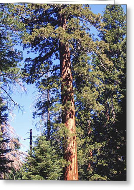 Original Art Photographs Greeting Cards - One Giant Sequoia Greeting Card by Barbara Snyder