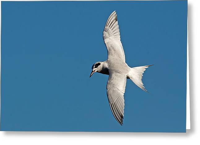 Tern Greeting Cards - One Good Tern Greeting Card by Kenneth Albin