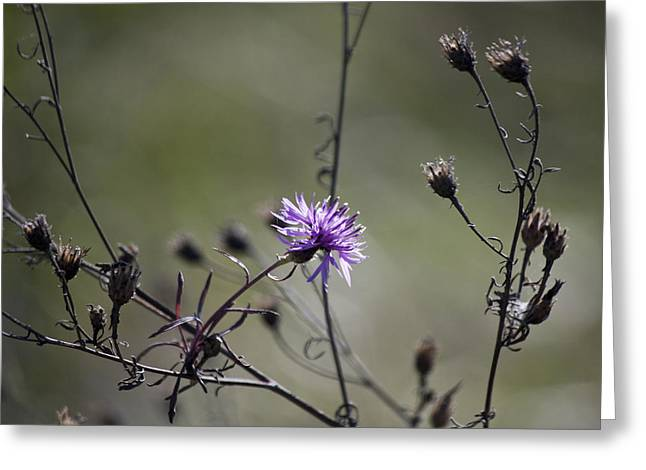 Asters Greeting Cards - One Last Bloom Greeting Card by Teresa Mucha