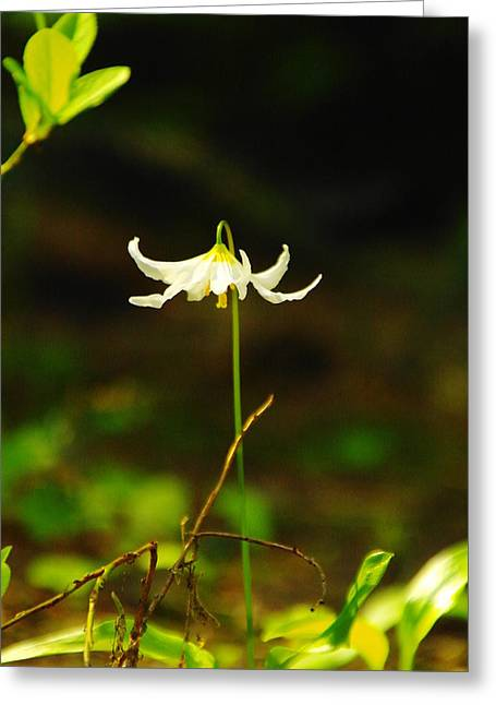 Forest Floor Greeting Cards - One Lily Almost Alone Greeting Card by Jeff  Swan