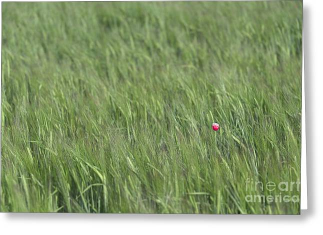 Rich Countries Greeting Cards - One lost poppy Greeting Card by Svetlana Sewell