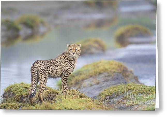 Cheetah Hunting Greeting Cards - One More Look - Cheetah Cub Greeting Card by Sandra Bronstein