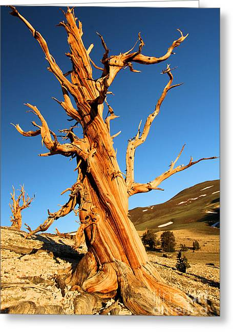 Oldest Living Tree Greeting Cards - One Of The Ancients Greeting Card by Adam Jewell