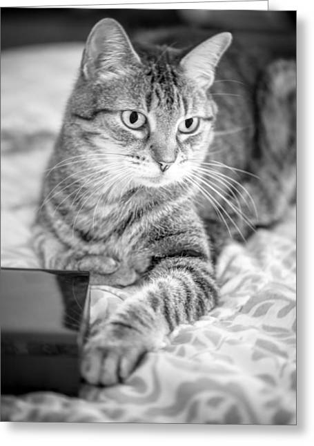 American Shorthair Greeting Cards - One Paw Greeting Card by Anita Miller