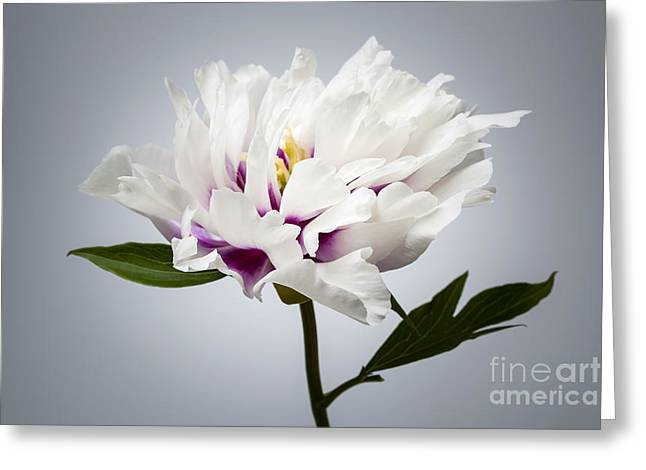 Grey Background Greeting Cards - One peony flower Greeting Card by Elena Elisseeva
