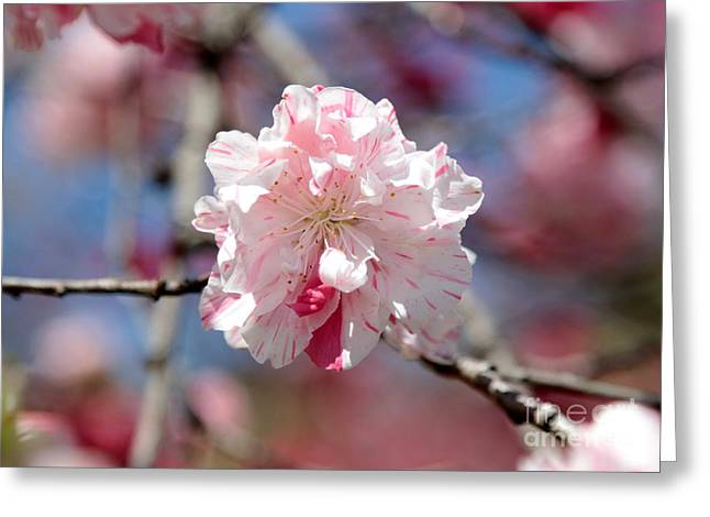 One Pink Blossom Greeting Card by Carol Groenen
