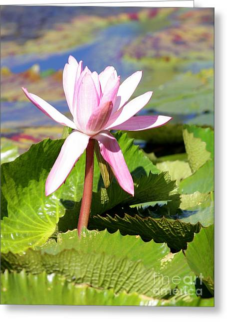 Water Garden Greeting Cards - One Pink Water Lily Greeting Card by Carol Groenen