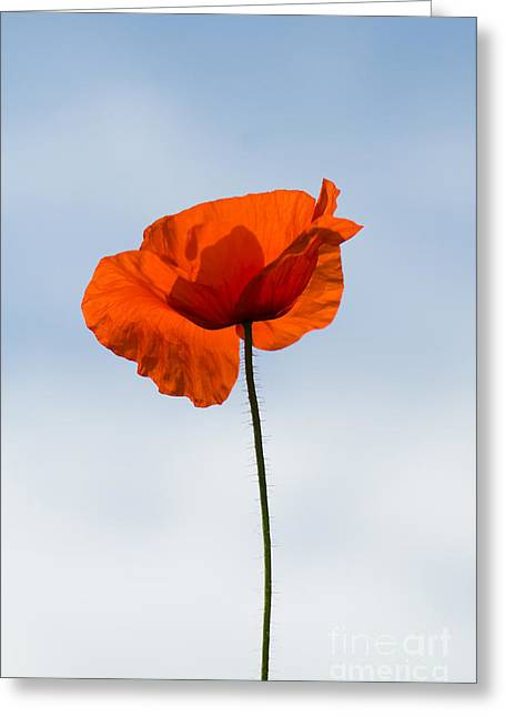 Rememberance Greeting Cards - One Poppy Greeting Card by Anne Gilbert