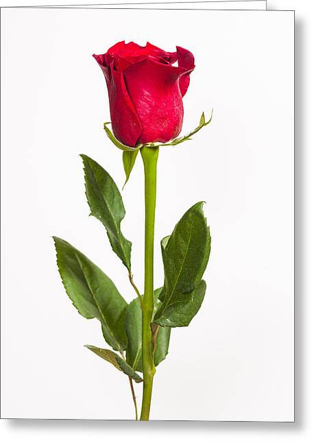 Interior Still Life Greeting Cards - One Red Rose Greeting Card by Adam Romanowicz