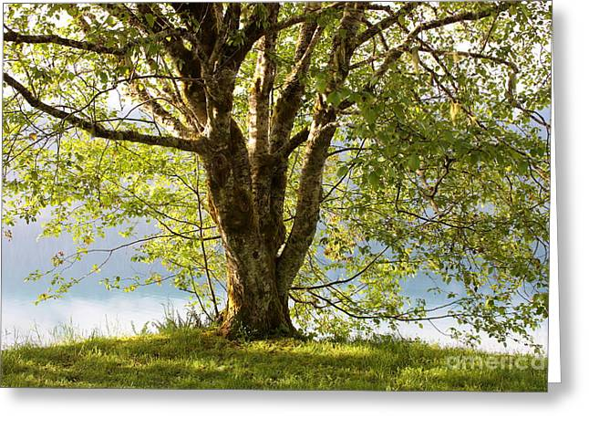 Lake Crescent Greeting Cards - One Spring Tree Greeting Card by Carol Groenen