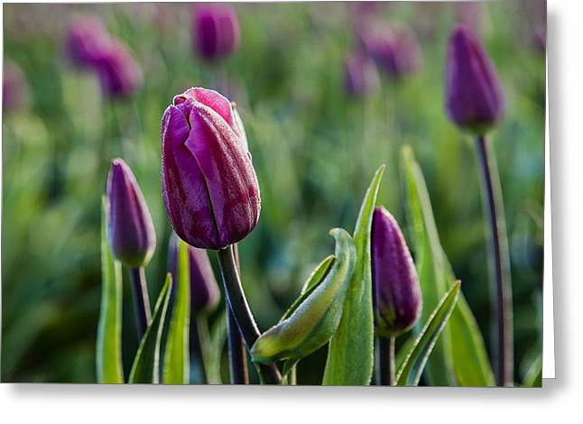 In Full Bloom Greeting Cards - One Tulip Among Many Greeting Card by Mary Jo Allen