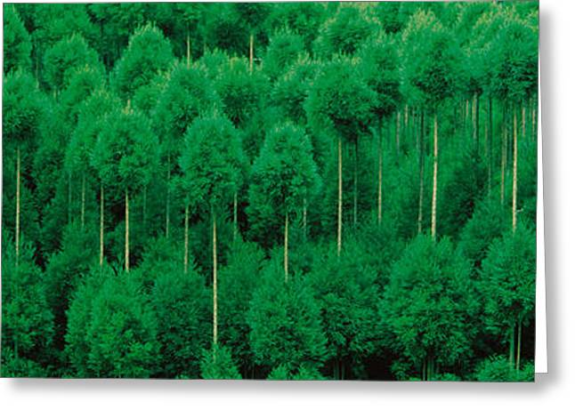 Thin Greeting Cards - Onogo Kitayama Cedar Trees Kyoto Japan Greeting Card by Panoramic Images