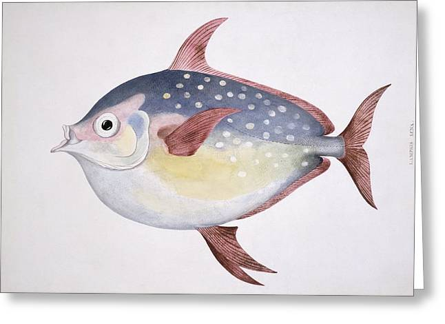 Kingfish Greeting Cards - Opah, 19th century artwork Greeting Card by Science Photo Library