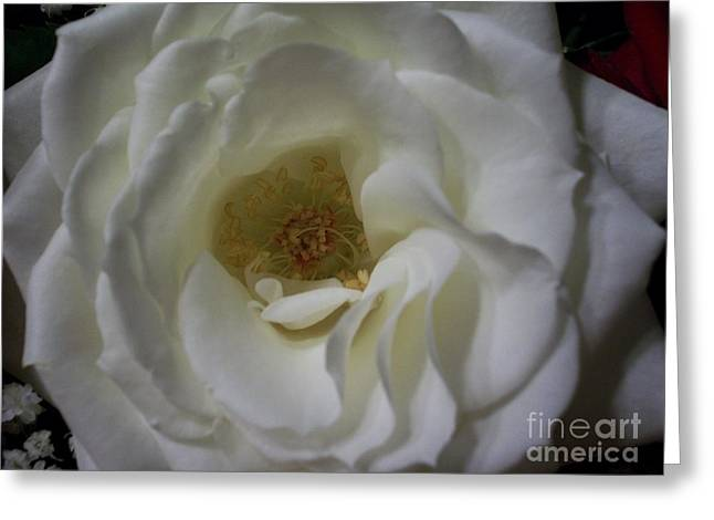 Rose Highlights Greeting Cards - Open Rose Greeting Card by Emily Young