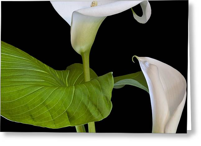 Square_format Greeting Cards - Open white calla lily I Greeting Card by Heiko Koehrer-Wagner
