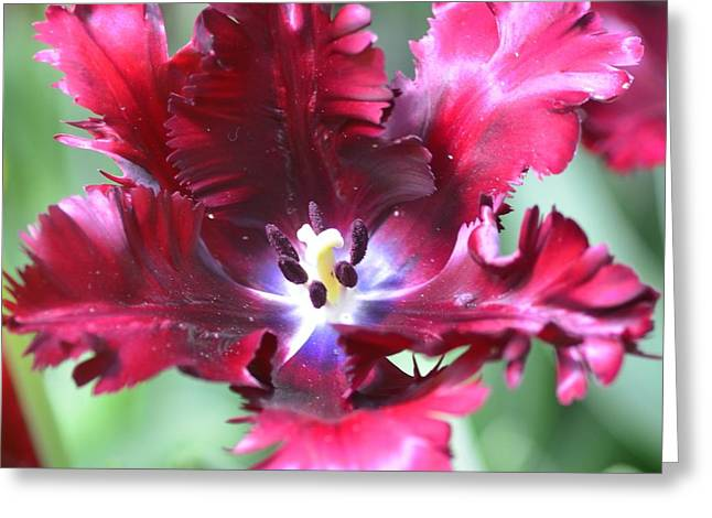 Struckle Greeting Cards - Opened Tulip Greeting Card by Kathleen Struckle