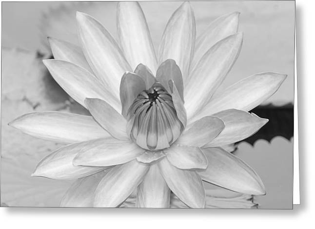 Florida Flowers Greeting Cards - Opened Water Lily in Black and White #12 Greeting Card by Sabrina L Ryan