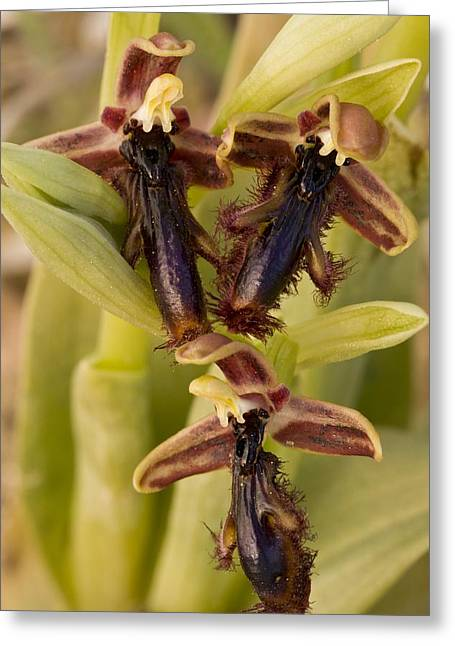 Chios Greeting Cards - Ophrys regis-ferdinandii Greeting Card by Science Photo Library