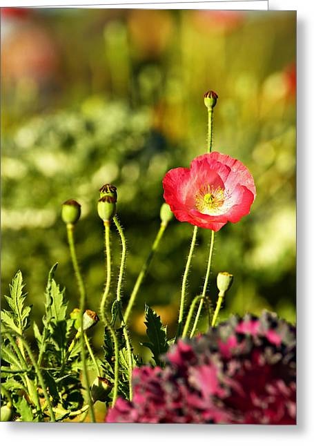 Suradej Greeting Cards - Opium Poppy Greeting Card by Suradej Chuephanich