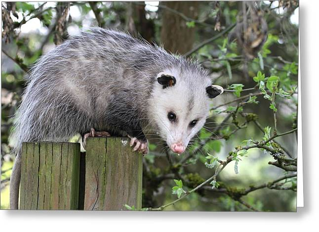 Beady Eyes Greeting Cards - Opossum 2 Greeting Card by Angie Vogel