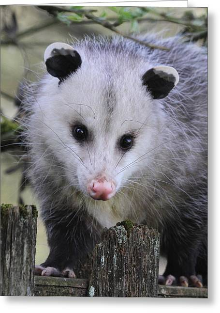 Marsupial Greeting Cards - Opossum Greeting Card by Angie Vogel