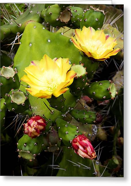 Indica Greeting Cards - Opuntia ficus-indica Greeting Card by Fabrizio Troiani