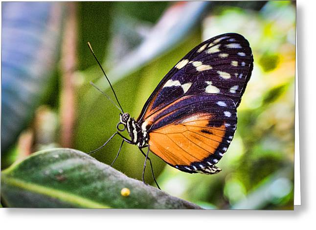 Branson Mo Greeting Cards - Orange Adorned Butterfly Greeting Card by Bill Pevlor