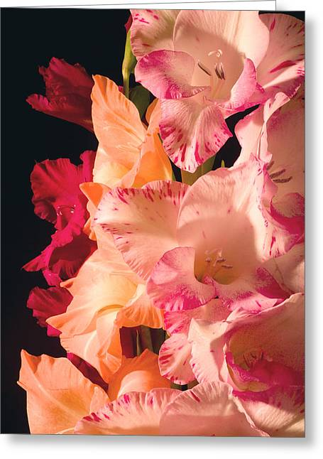 Glad Greeting Cards - Orange And Pink Gladiolus Flower Greeting Card by Keith Webber Jr